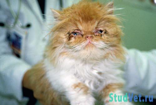 Котенок с слизисто гнойными истечениями из глаз при ринотрахеите (герпесвирусной инфекции)