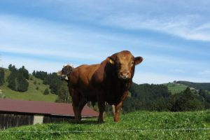 Кормление быков-производителей