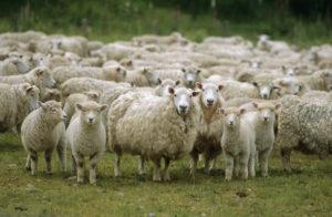 Особенности питания и обмена веществ у овец