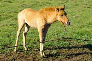 Кормление жеребят и молодняка лошадей