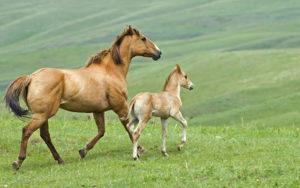 Кормление продуктивных лошадей