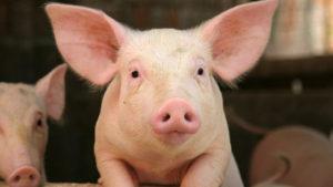 Кормление ремонтного молодняка свиней