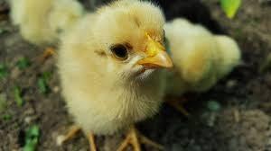Кормление цыплят и молодняка кур