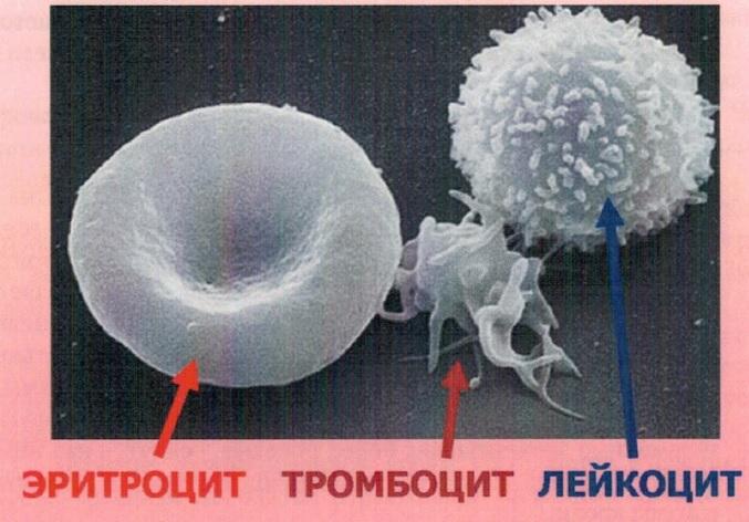 Форменные элементы крови (электронная сканирующая микроскопия)