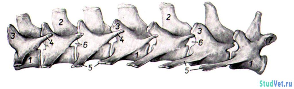 Поясничные позвонки собаки с левой стороны