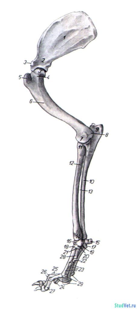 Рис.1. Скелет грудной конечности собаки — медиальная поверхность.