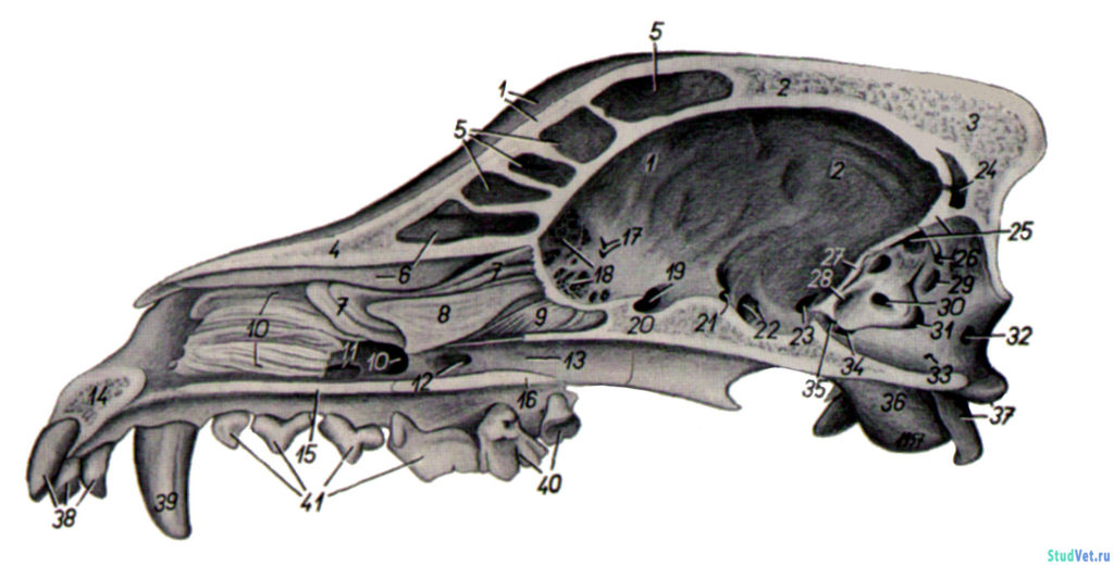 Рис.3. Сагиттальный разрез черепа собаки.