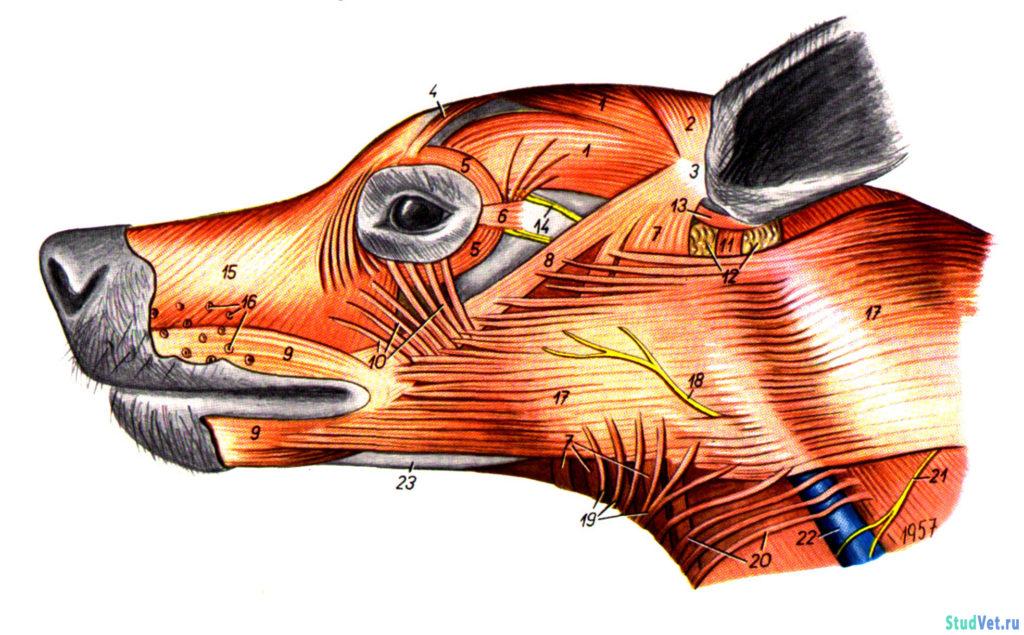 Рис.1. Мышцы головы собаки после удаления фасций и кожи. Вид слева.