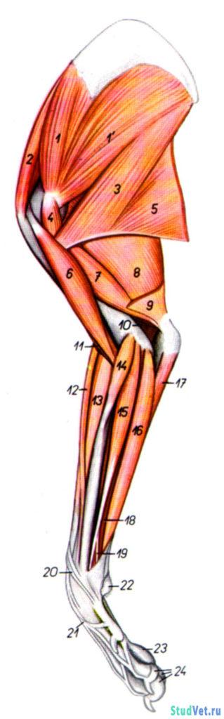 Рис.1. Мышцы правой грудной конечности собаки - медиальная поверхность.