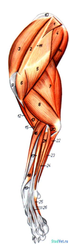 Рис.2. Мышцы левой грудной конечности собаки - латеральная поверхность.