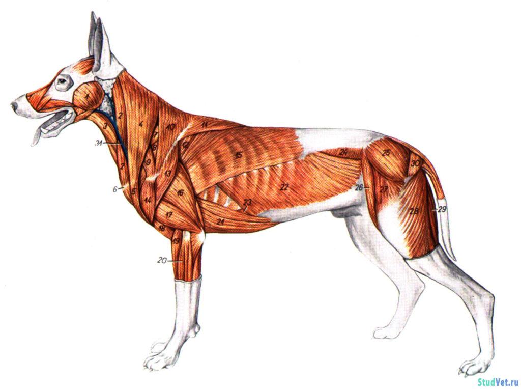 Рис.1. Поверхностные мышцы туловища собаки.
