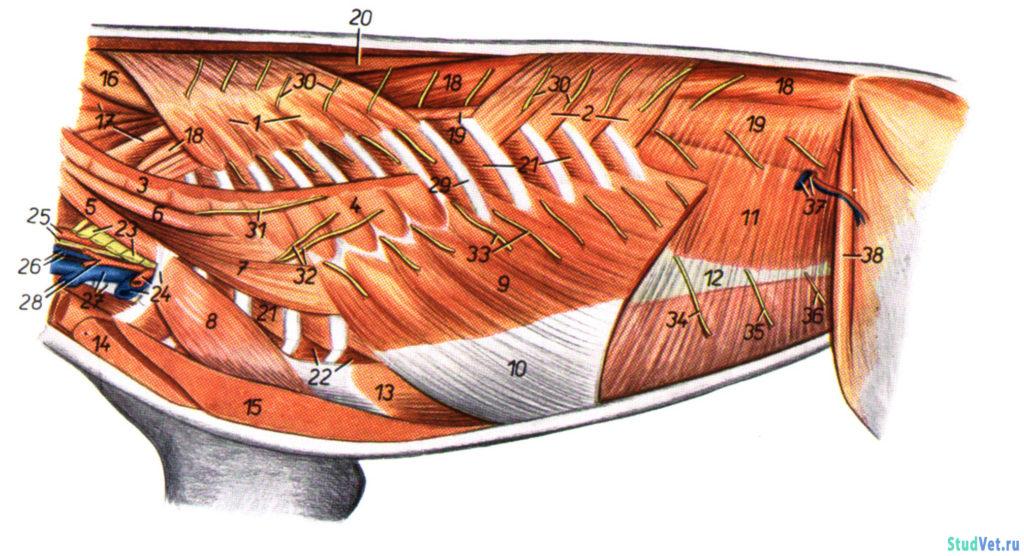Рис.2. Мышцы, сосуды и нервы туловища собаки с левой стороны после удаления грудной конечности.