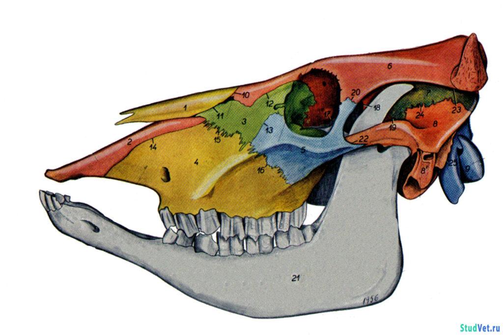 Рис.1. Череп коровы с левой стороны. Показаны границы костей.
