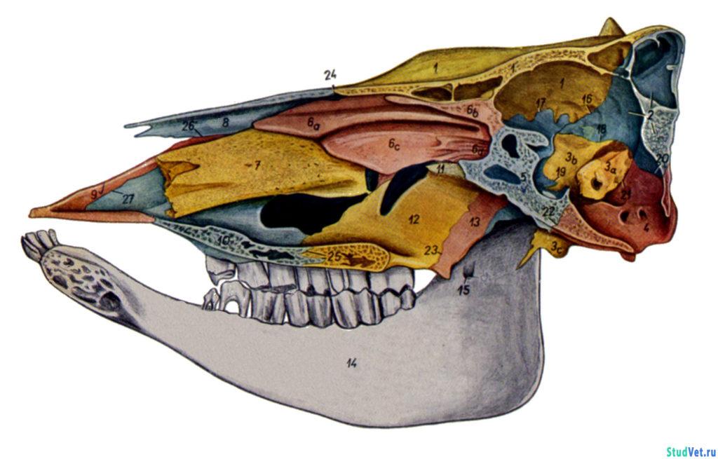Рис.2. Сагиттальный разрез черепа коровы.