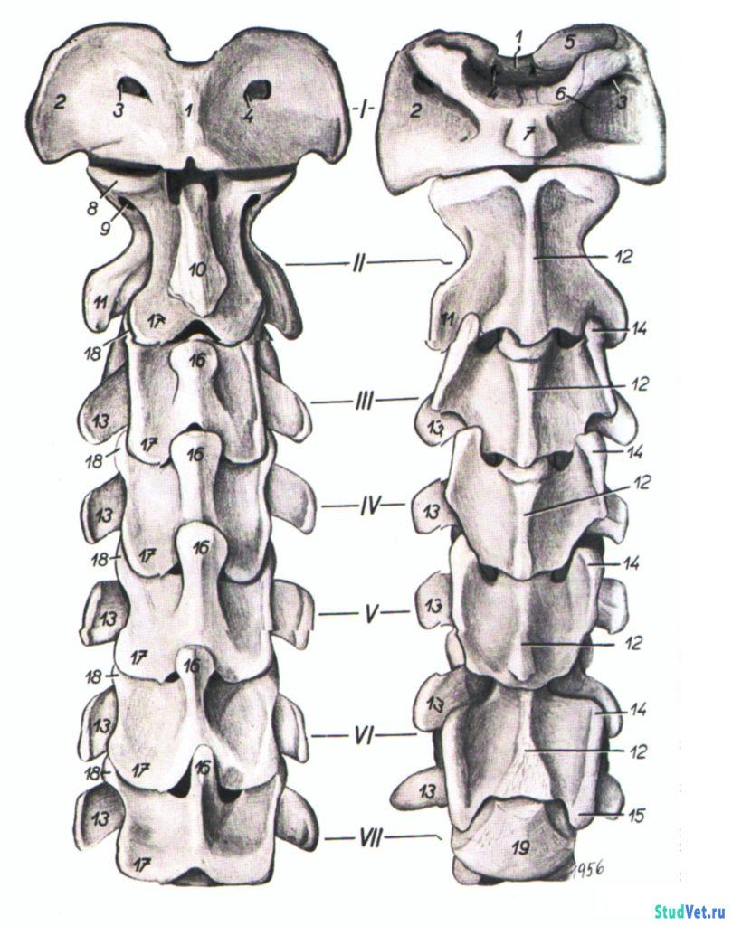 Рис.2. Шейный отдел позвоночника кр. рогатого скота. Слева - с дорсальной поверхности, справа - с вентральной поверхности.