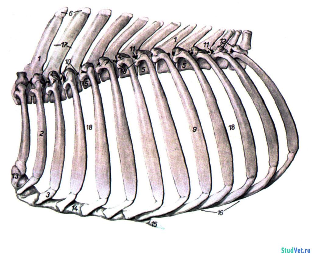 Рис.1. Скелет грудной клетки крупного рогатого скота. С левой стороны.