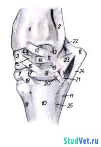 Рис.1. Запястный сустав крупного рогатого скота — дорсолатеральная поверхность.