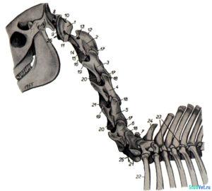 Рис.1. Скелет шеи лошади с левой стороны.