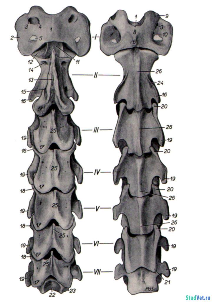 Рис.2. Шейные позвонки лошади. Слева - с дорсальной поверхности, справа - с вентральной.