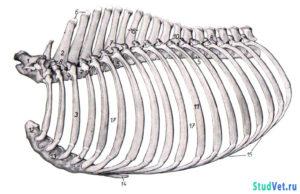 Рис.1. Грудная клетка лошади с левой стороны.
