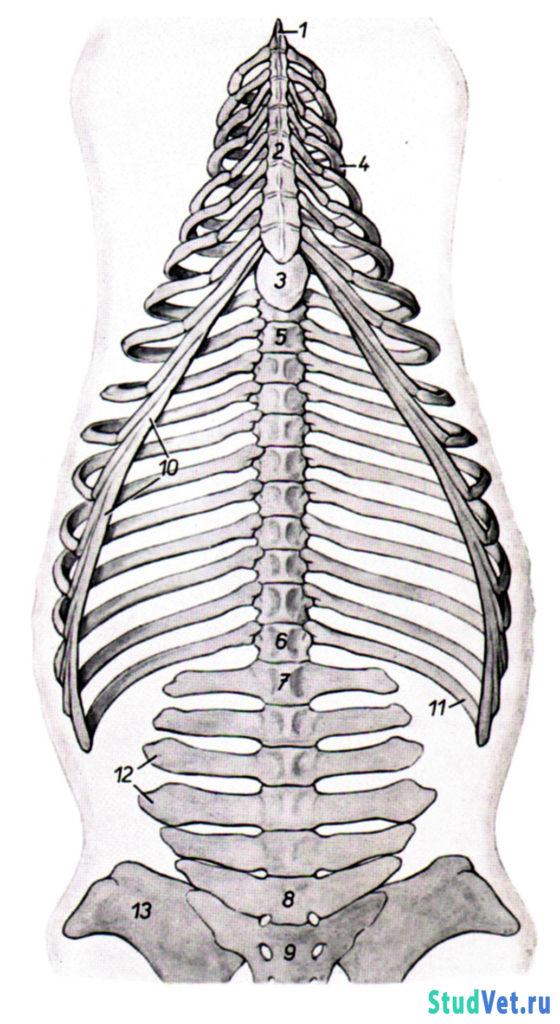 Рис.9. Скелет туловища лошади с вентральной стороны.