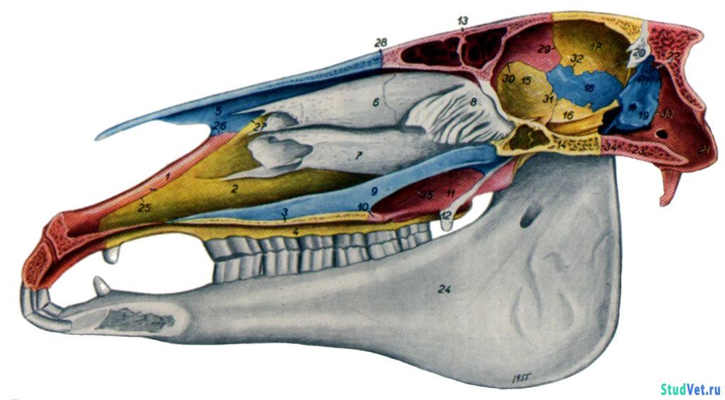 Рис.2. Сагиттальный разрез черепа лошади. Вид слева.