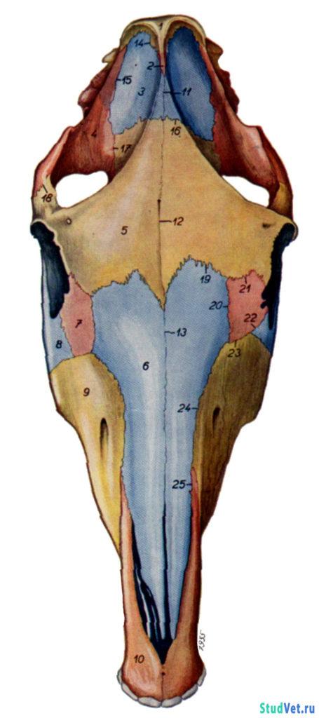 Рис.11. Череп лошади с дорсальной поверхности.