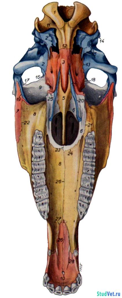 Рис.11. Череп лошади с вентральной поверхности. Показаны границы костей.