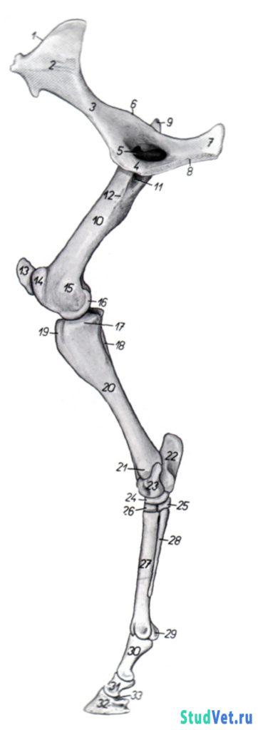 Рис.15. Скелет тазовой конечности лошади -медиальная поверхность.