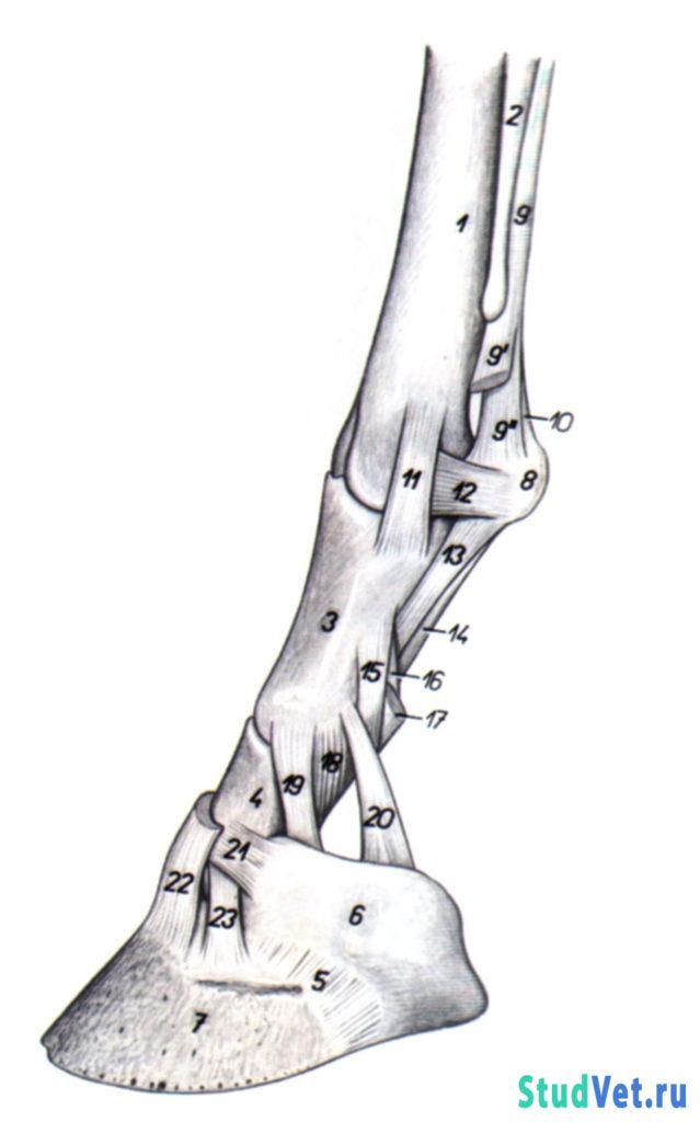 Рис.1. Связки суставов пальцев грудной конечности лошади - медиальная поверхность.