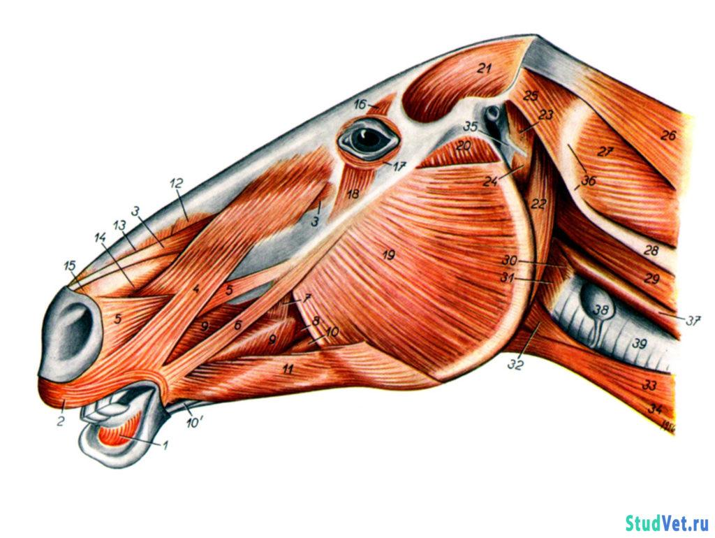 Рис.1. Мышцы головы лошади с левой стороны.