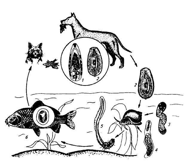 Описторхоз и клонорхоз плотоядных животных (цикл развития)