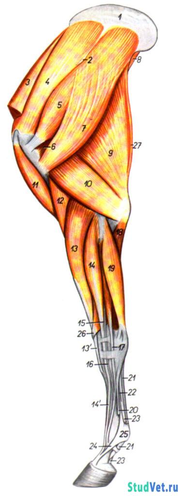 Мышцы грудной конечности лошади. Латеральная поверхность.