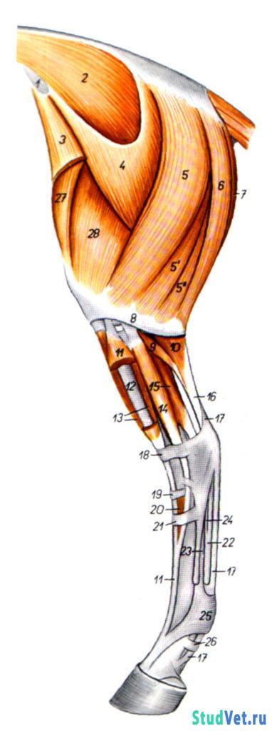Мышцы таза и тазовой конечности лошади - латеральная поверхность
