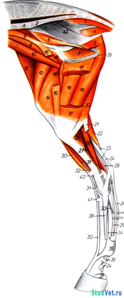 Мышцы таза и тазовой конечности лошади - медиальная поверхность
