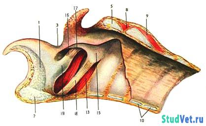 Сагиттальный разрез гортани и трахеи лошади (внизу – слизистая оболочка частично удалена)