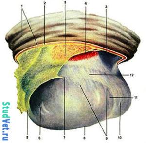 Семенник жеребца (латеральная поверхность, после разреза кожи и мышечноэластической оболочки)