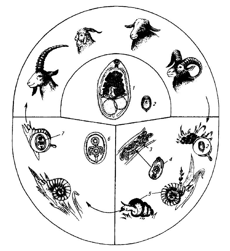 Биология развития Н. ovis