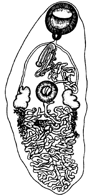Морфология Е. pancreaticum