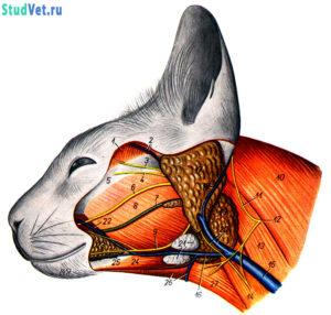 Поверхностные мышцы, сосуды и нервы головы кошки после удаления кожных мышц. Вид слева