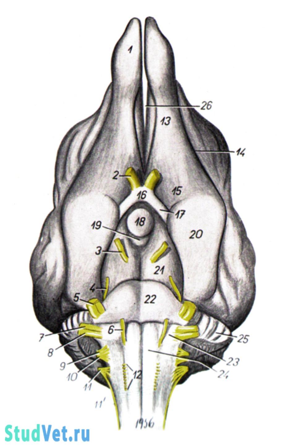Рис. 2. Базальная поверхность головного мозга собаки