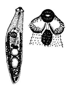 Echinochasmus perfoliatus