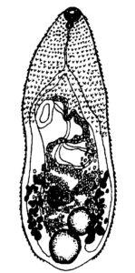 Metagonimus yakogawai