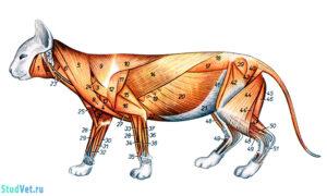 Поверхностные мышцы туловища кошки после удаления подкожных мышц