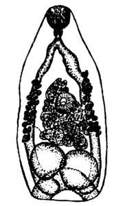 Pseudamphistomum truncatum
