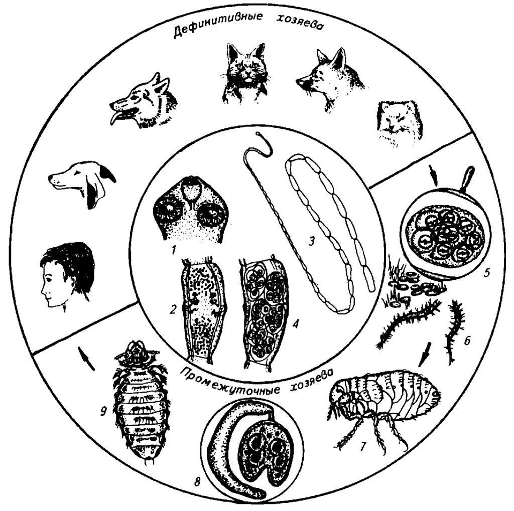 Биология развития D. caninum