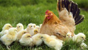 Кормление цыплят-бройлеров