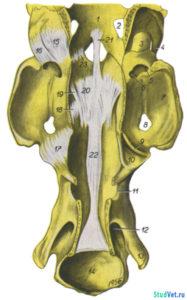 Рис.1. Связки затылочноатлантного и ось-атлантного суставов лошади. Вид с дорсальной стороны после вскрытия позвоночного канала.
