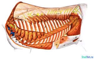 Рис.1. Глубокие мускулы туловища лошади с левой стороны.