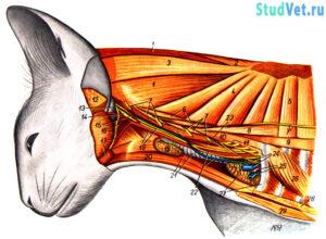 Мышцы, сосуды и нервы шеи кошки. Глубокий слой. Вид слева